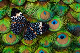 India Peacock Description